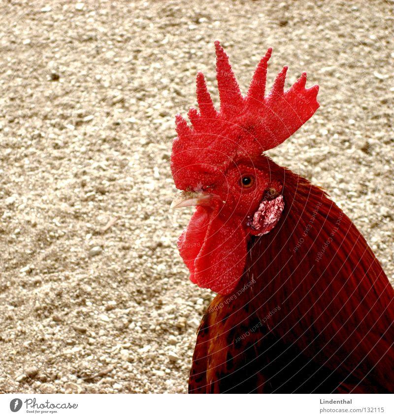 Na meine Kleine.... rot Tier Haare & Frisuren Vogel Bauernhof Punk Schnabel Hahn Kamm Zecke