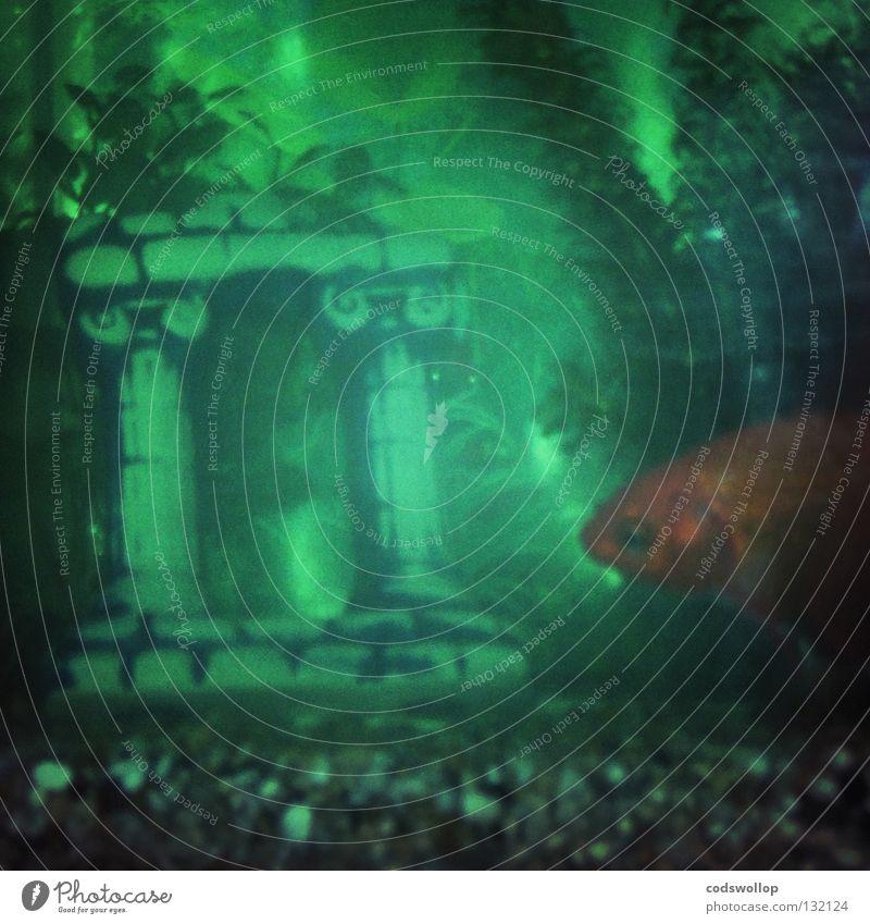 Archie discovers Atlantis Wasser Fisch Aquarium grün Goldfisch Unterwasseraufnahme 1 Unschärfe Textfreiraum unten