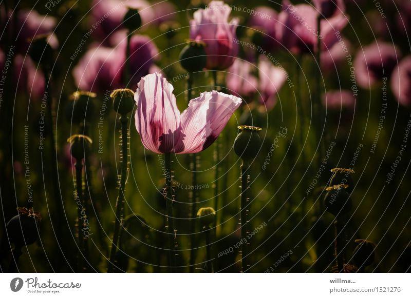 applaus, applaus! Natur Pflanze Sommer Mohnblüte Mohnfeld Mohnkapsel Schlafmohn grün rosa dunkel leuchten Blume Farbfoto Außenaufnahme Abend Gegenlicht