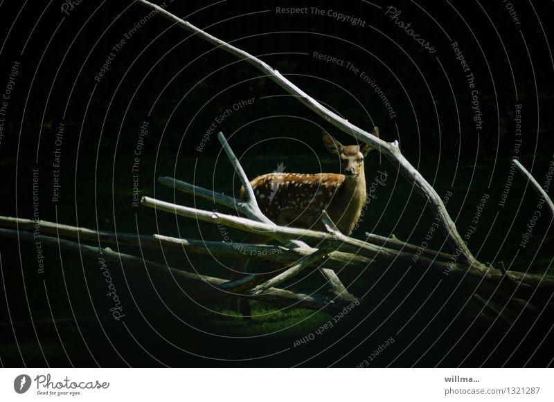gerahmtes wild Wildtier Damwild Paarhufer Wiederkäuer Rudeltier Dama Dama 1 Tier beobachten Wald kahl dunkel Schüchternheit Abenddämmerung Außenaufnahme