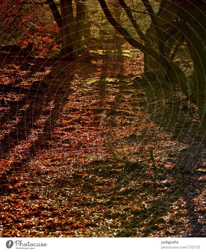 Märchenwald Darß Wald Baum Blatt Buche Laubbaum Waldboden Herbst Winter Umwelt Urwald Nationalpark Farbe Schatten Natur