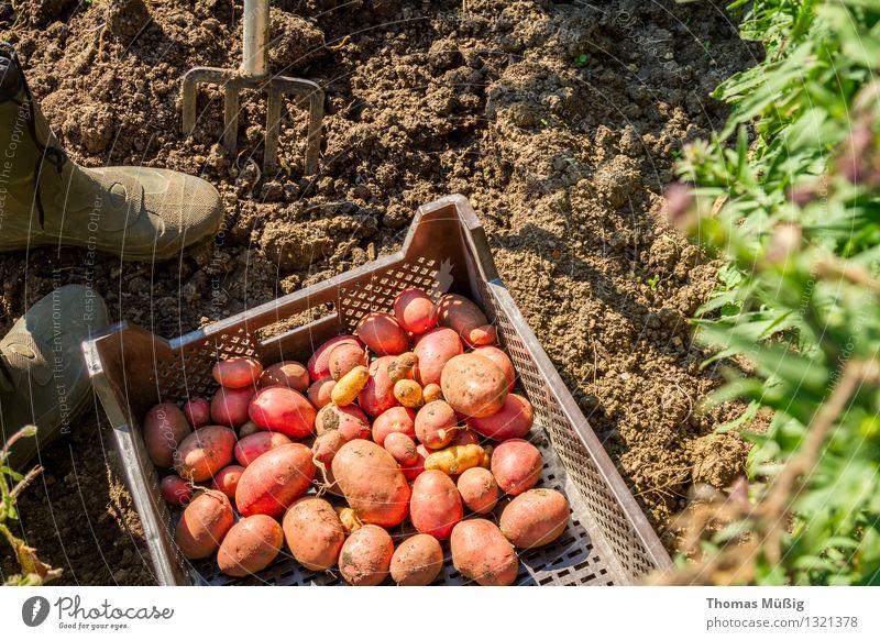 Erntezeit Gemüse Frucht Sommer Garten Gartenarbeit Natur Pflanze Nutzpflanze Feld Arbeit & Erwerbstätigkeit Grabgabel Kartoffeln Schrebergarten Farbfoto