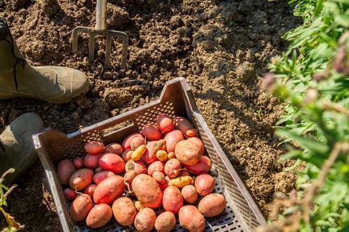 Erntezeit Natur Pflanze Sommer Garten Arbeit & Erwerbstätigkeit Frucht Feld Gemüse Schrebergarten Gartenarbeit Nutzpflanze Kartoffeln