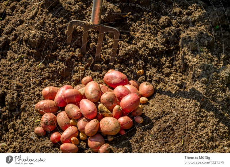 Erntezeit Gemüse Frucht Sommer Garten Gartenarbeit Natur Pflanze Erde Nutzpflanze Feld Arbeit & Erwerbstätigkeit Grabgabel Kartoffeln Schrebergarten Farbfoto