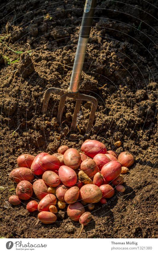 Erntezeit Lebensmittel Gemüse Frucht Sommer Garten Gartenarbeit Arbeit & Erwerbstätigkeit Grabgabel Kartoffeln Schrebergarten Farbfoto Außenaufnahme Tag