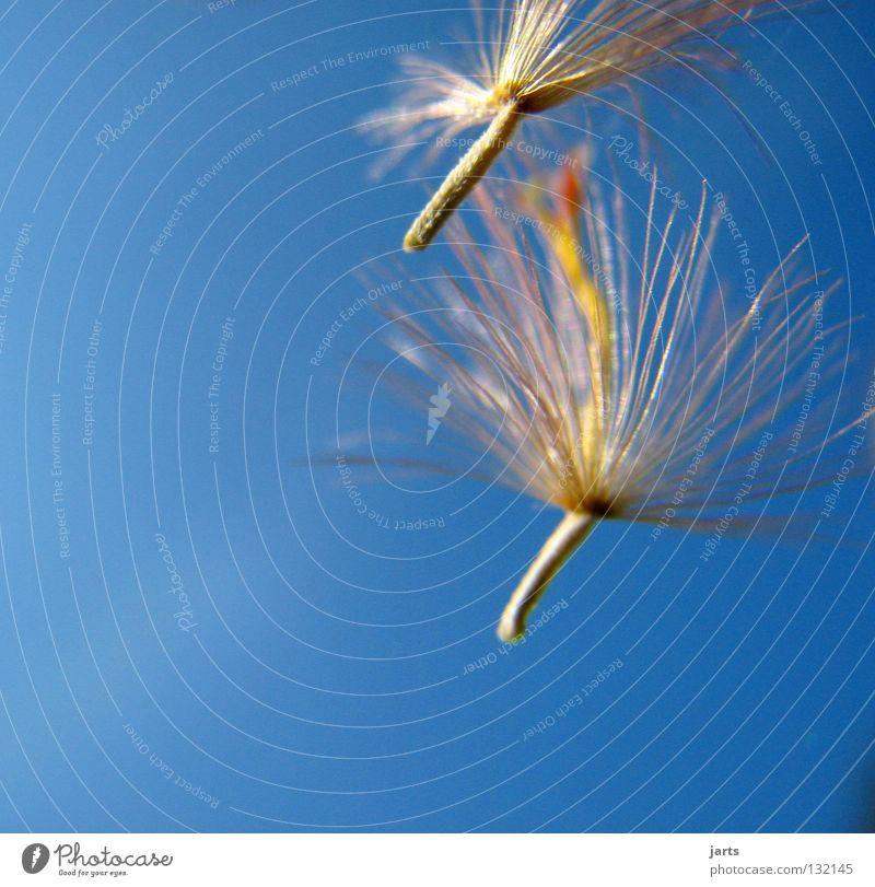 kleine Freiheit Schweben Löwenzahn Blume Frieden Himmel fliegen Samen jarts