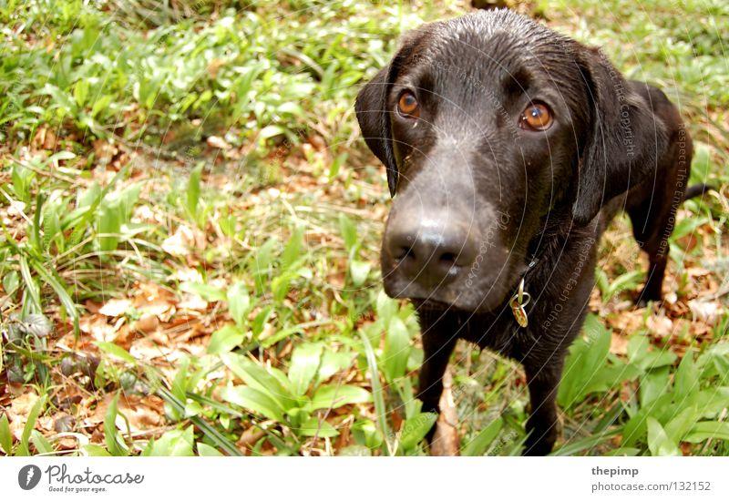 ich wars nicht Hund grün Blatt schwarz Auge braun Spaziergang Säugetier Treue Hundeblick Hängeohr braunes Auge Hundemarke