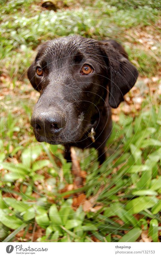 hundekopf Hund schwarz Herbst grün braun Blatt Bärlauch Hängeohr braunes Auge Schnauze Treue Hundemarke Säugetier dog black wuff