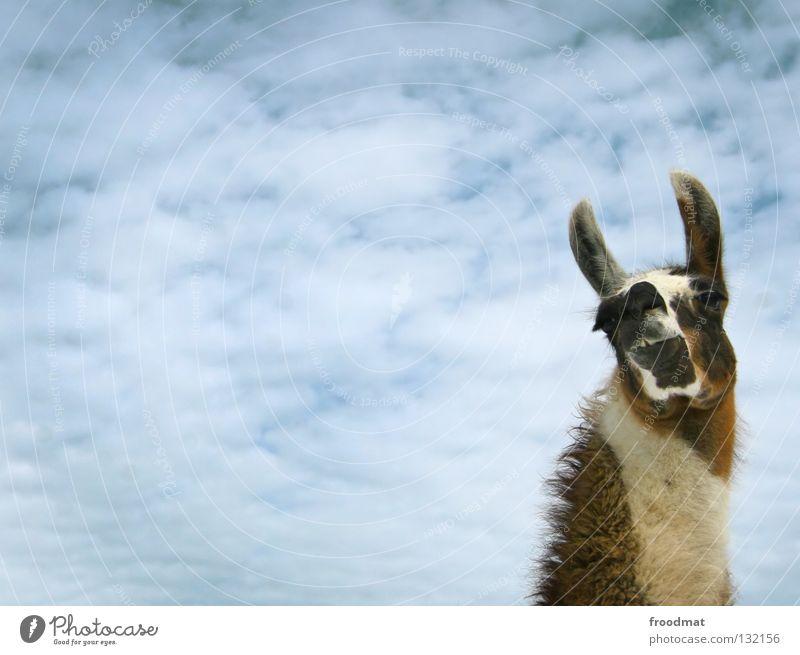 rsch Schweiz Tier bescheiden Hochmut tierisch Lama Kamel Fell buschig Wolken lustig eigenwillig süß Lasttier Wolle frontal Säugetier froodmat Ohr Himmel blau