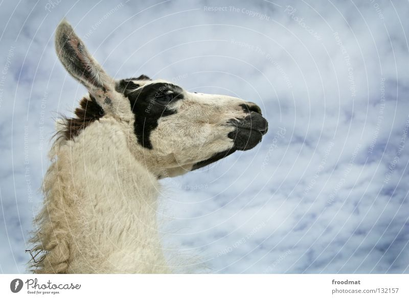 Lama Schweiz Tier bescheiden Hochmut tierisch Kamel Fell buschig Wolken lustig eigenwillig süß Lasttier Wolle frontal Säugetier froodmat Ohr Himmel blau