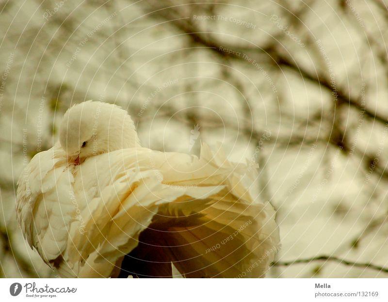 weiße Taube Umwelt Natur Baum Tier Vogel 1 Tierpaar Reinigen Romantik Frieden Farbfoto Außenaufnahme Tag