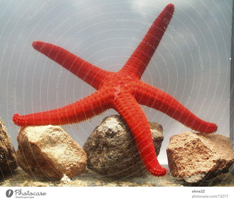 seestern rot Aquarium Tier Seestern