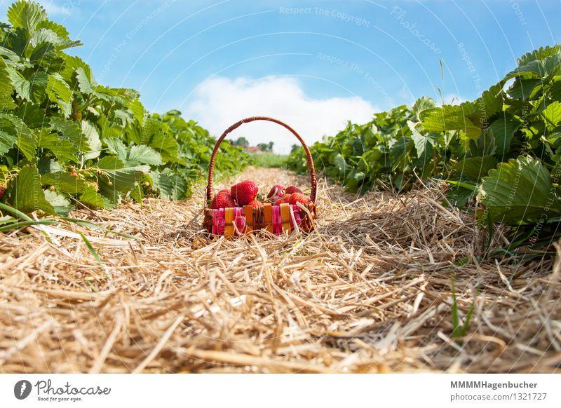 Ein Körbchen Erdbeeren Lebensmittel Frucht Landwirtschaft Forstwirtschaft Pflanze Wolken frisch Gesundheit lecker blau braun rosa rot genießen Korb Plantage