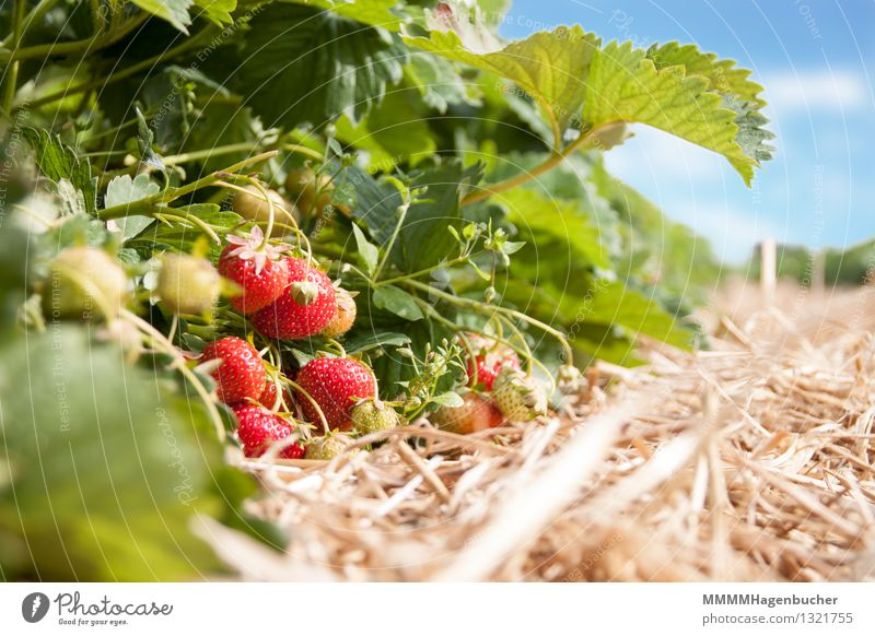 Frische Erdbeeren Lebensmittel Frucht Landwirtschaft Forstwirtschaft Pflanze Wolken frisch Gesundheit lecker süß blau rot genießen Plantage Ernte
