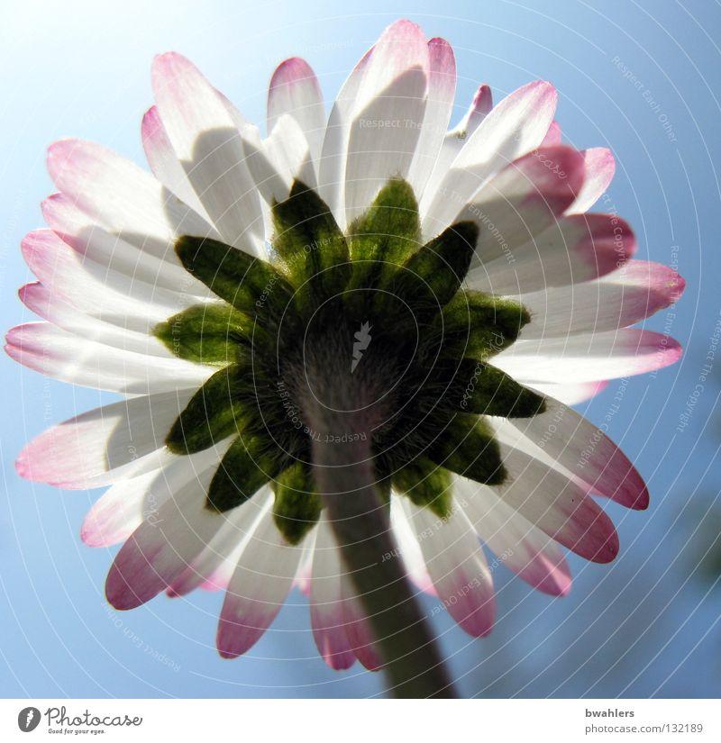 Sonne tanken Gänseblümchen Blüte Blütenblatt Stengel grün weiß rosa Sommer Frühling Physik Gegenlicht Blume klein Wiese Himmel Lampe Beleuchtung hell Wärme