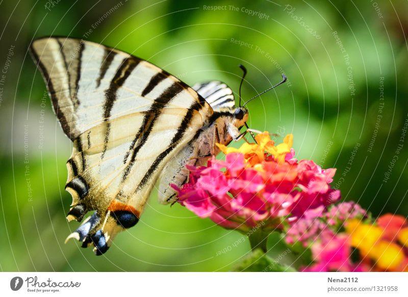 *400* - Weiterflattern Umwelt Natur Tier Frühling Sommer Schönes Wetter Blume Sträucher Blüte Garten Park Wiese Schmetterling Flügel 1 füttern ästhetisch Duft