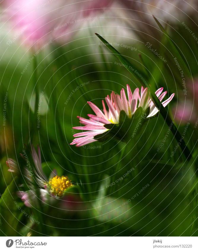 Früüüüühling Gänseblümchen Blume Pflanze Wiese grün Frühling Sommer Blüte Gras Unschärfe weiß Hintergrundbild Natur lieblich zart weich Froschperspektive klein