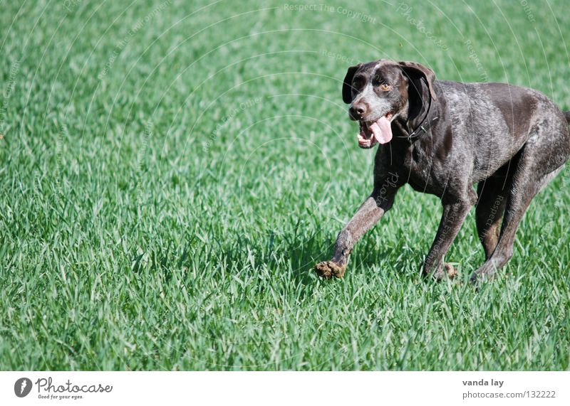 Paul Hund grün Tier Wiese Spielen Gras Luft braun Wetter Feld laufen rennen Spaziergang Ohr Rasen Jagd