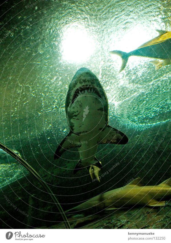Predator Aquarium Singapore Fisch Shark blood water underwater predator carnivore fish