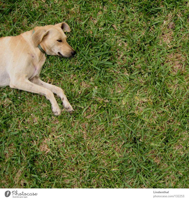 Schnuffel beim Chillen II Erholung oben Hund schlafen Säugetier Labrador