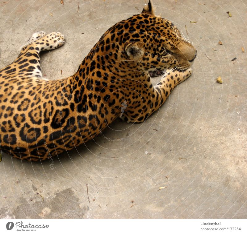 Wahrscheinlich ein Puma Katze Tier ruhig warten liegen Fell Gelassenheit Säugetier Schwanz Bildausschnitt Anschnitt Leopard