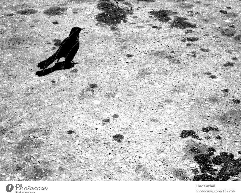 Amsel auf Teer weiß schwarz Tier grau Vogel stehen Erdöl Fleck Säugetier Benzin Rabenvögel Krähe Elster