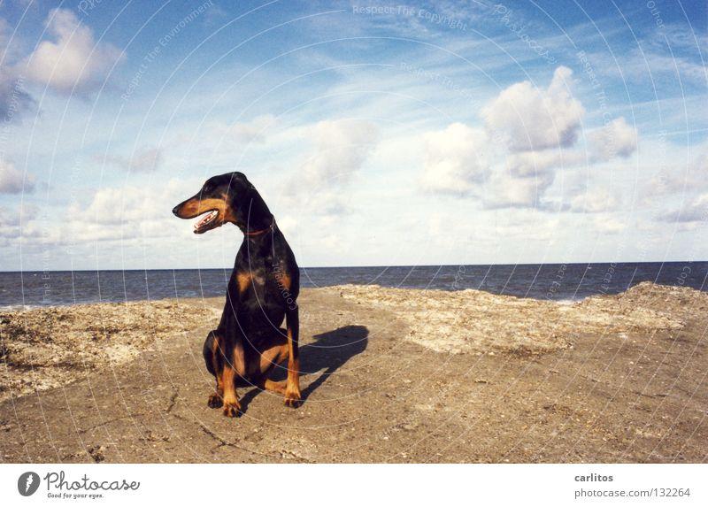 ALLES MEINS Dobermann Hund Strand Meer Wellen toben Körperhaltung Angeben Säugetier Küste Sommer Doberfrau kein Kampfhund Schmusehund Dänemark Insel Hundestrand