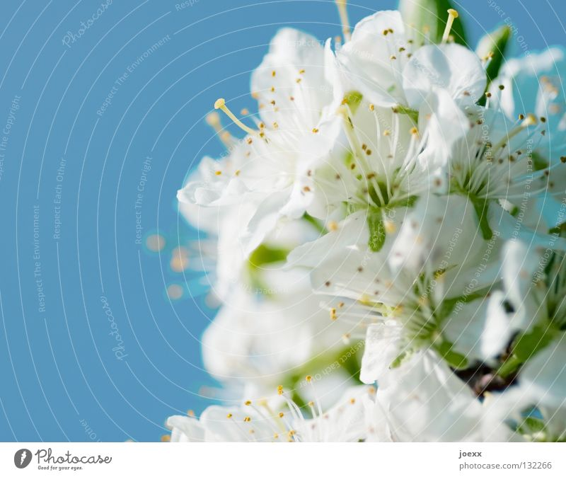 Frühe Kirschen schön Himmel blau Sommer Ferien & Urlaub & Reisen Blüte Frühling Vergänglichkeit Biene Blütenblatt himmelblau Kirschblüten Laubbaum Blütenstempel
