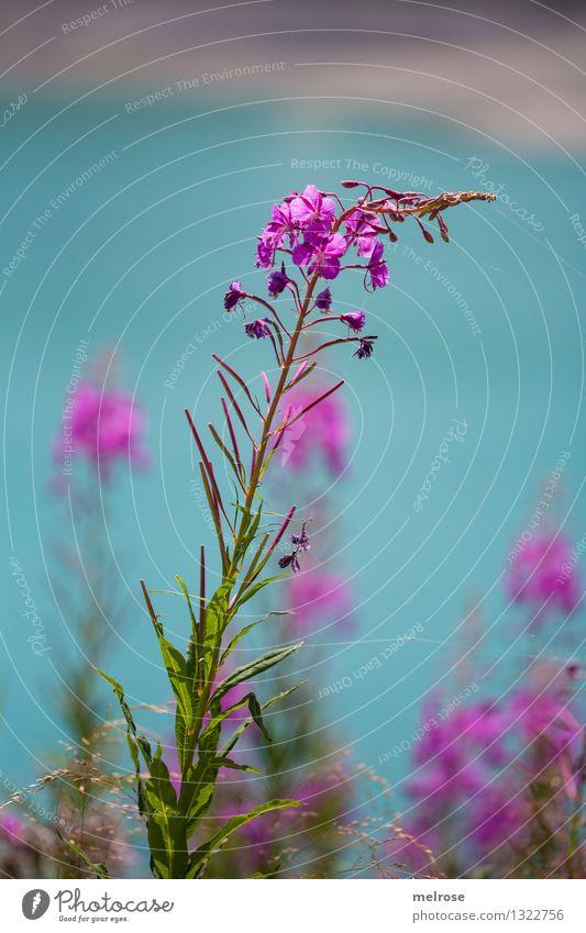 türkis-pink II Natur schön Sommer Wasser Erholung Landschaft Blatt Blüte Stil grau See rosa träumen leuchten elegant Erde