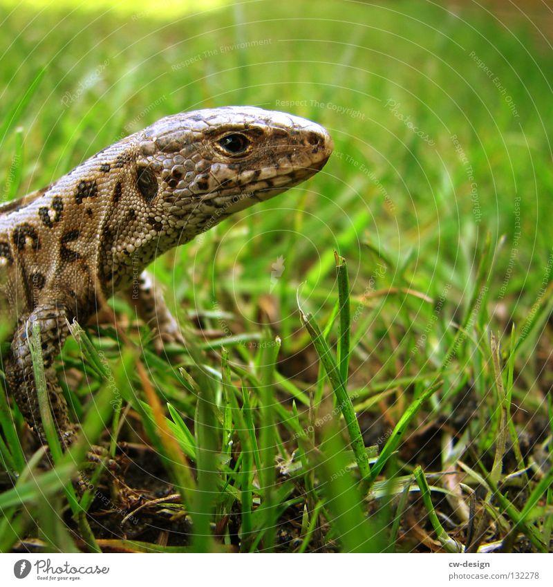 WAHNSINN SCHON IN UNSINN GARTEN III Echsen Echte Eidechsen Tier Reptil Verschmitzt Unschärfe Gras Halm grün Dinosaurier Leder Muster mehrfarbig Makroaufnahme