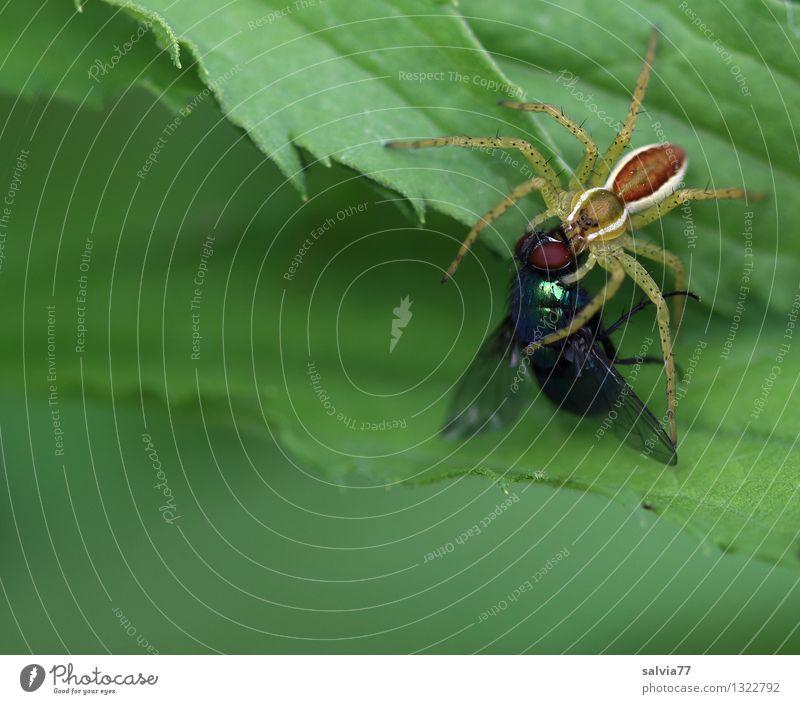 fette Beute Natur Pflanze Tier Blatt Grünpflanze Fliege Spinne Raubspinne 1 fangen festhalten Fressen kämpfen Ekel listig oben grün genießen Gesundheitswesen
