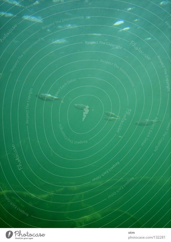 grün 04 gefährlich ruhig gleiten Angst furchtbar geheimnisvoll dunkel dunkelgrün hässlich nah Zoo exotisch gruselig Thriller Gewässer Teich See Meer Binnensee