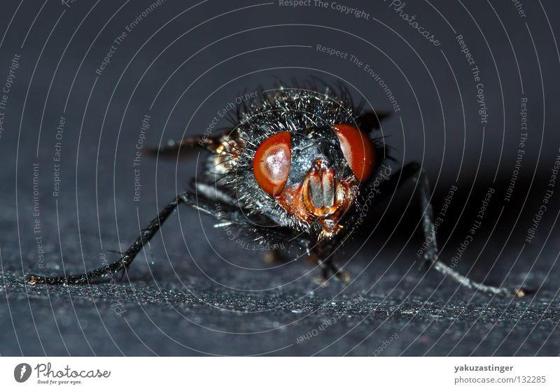 die Freak Show Makroaufnahme Nahaufnahme Parasit Insekt schwarz Facettenauge Bakterien Fühler Fluggerät Fliege Fly