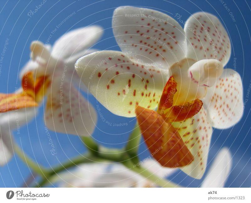 Orchidee Blüte Makroaufnahme blau