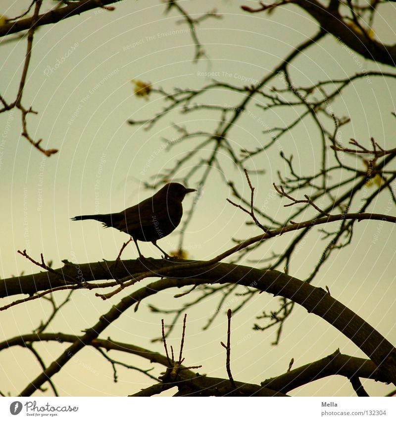 Amselfrühling Umwelt Natur Pflanze Tier Baum Zweige u. Äste Vogel 1 hocken sitzen warten natürlich Silhouette Farbfoto Außenaufnahme Menschenleer Dämmerung