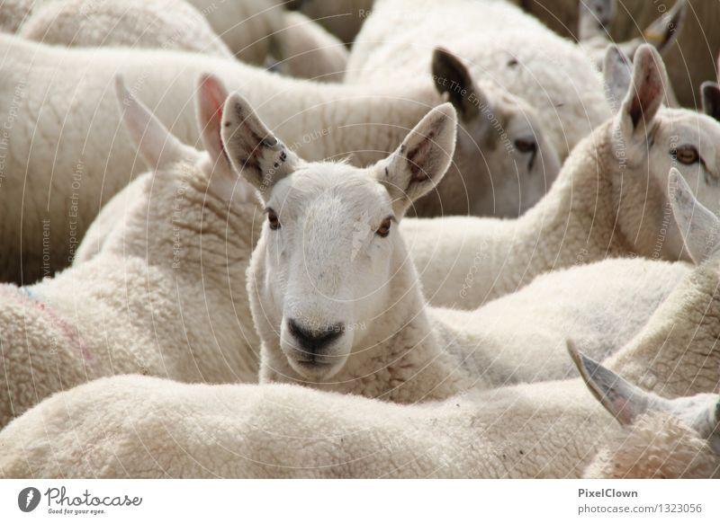 300-die Schäflein im Trockenen haben Fleisch Landwirtschaft Forstwirtschaft Natur Feld Tier Haustier Nutztier Fell Tiergruppe Spielen natürlich weiß Gefühle