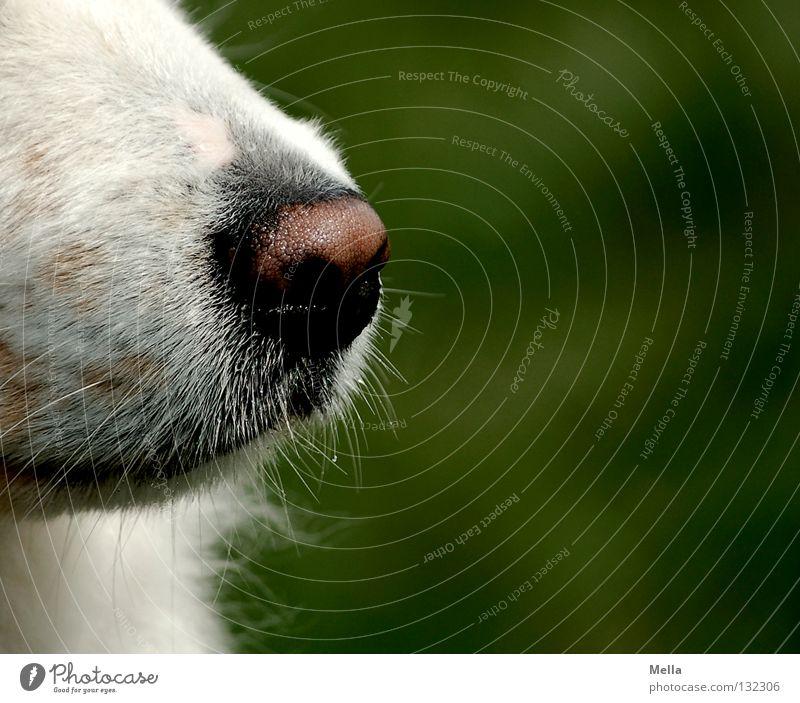 Guter Riecher weiß grün Tier Hund Nase Wachsamkeit Geruch Haustier Sinnesorgane Schnauze