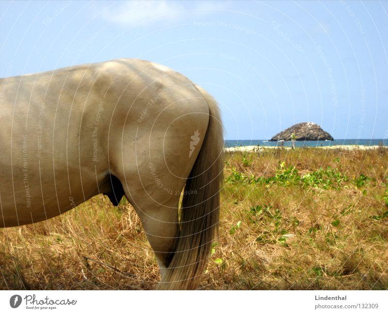 Meeresapfel Strand Wiese Haare & Frisuren Beine Küste Pferd Insel Hinterteil fest Säugetier Schwanz