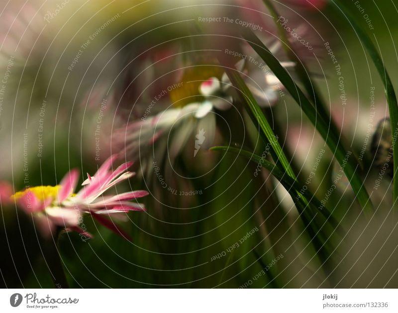 Früüüüühling II Gänseblümchen Blume Pflanze Wiese grün Frühling Sommer Blüte Gras Unschärfe weiß Hintergrundbild Natur lieblich zart weich Froschperspektive