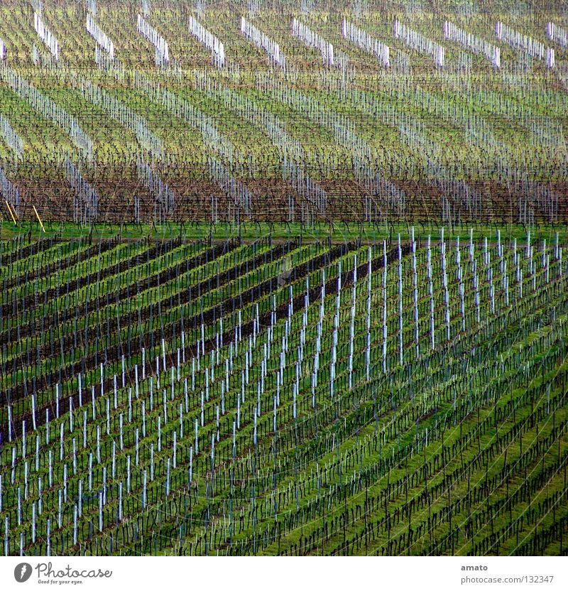 Weinbau in der Pfalz Vorderpfalz Haardt Scheurebe Huxelrebe Monokultur Weinberg Menschenleer