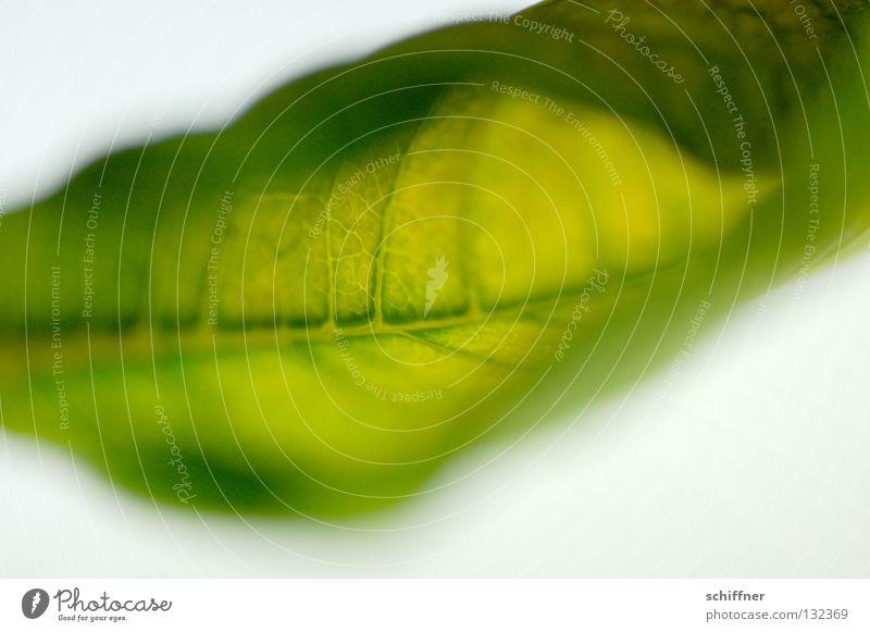 Weiches Blatt I grün Pflanze weich trocken Gefäße Rutsche Blattadern Zimmerpflanze gerollt Weichspüler