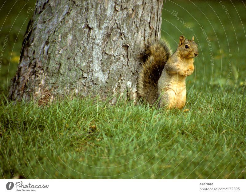 Ene mene Eckstein ... Natur Baum grün Tier Gras Garten Park niedlich verstecken Säugetier Eichhörnchen