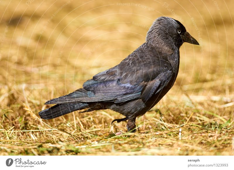 Dohle Jackdaw Bird Raven birds Crow To feed Meadow Lawn Grass Nature Animal Ground Blade of grass Hay Straw Foraging Animal portrait Macro (Extreme close-up)