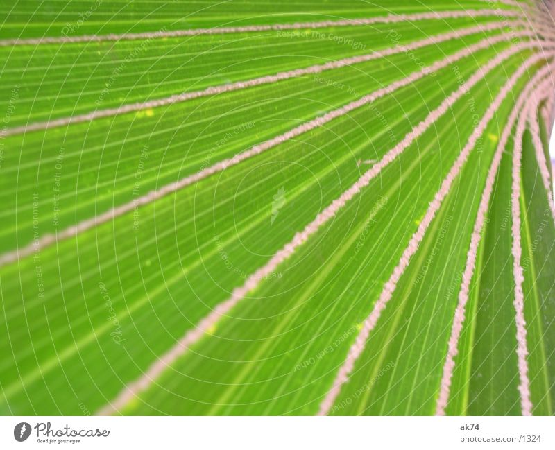Palmenblatt grün Makroaufnahme