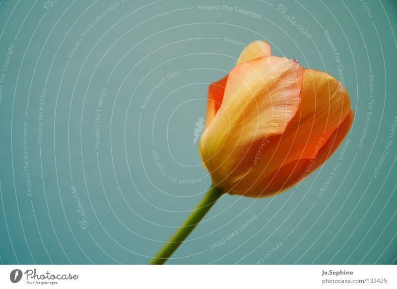 Frühling? Muttertag Natur Pflanze Blume Tulpe Blüte schön Jahreszeiten Frühblüher Blütenblatt Blütenstiel orange elegant zart Textfreiraum links
