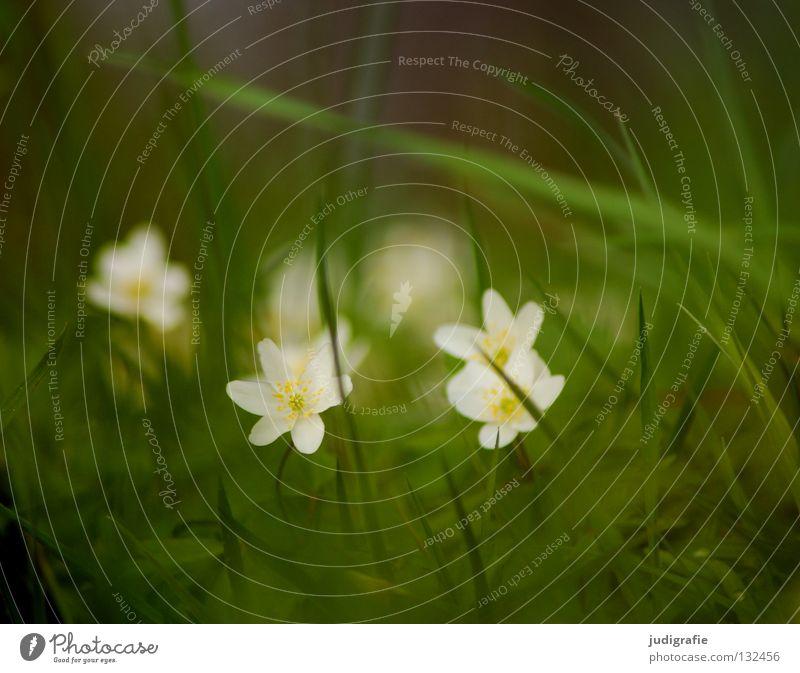 Wiese Natur weiß grün Pflanze Blume Farbe Umwelt Wiese Gras Frühling Blüte Bodenbelag weich Blühend zart verstecken