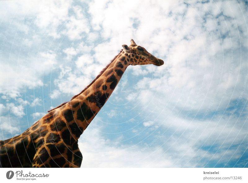 über den Wolken Himmel Verkehr hoch lang Fleck Hals Giraffe