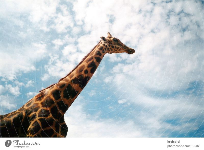 über den Wolken Himmel Wolken Verkehr hoch lang Fleck Hals Giraffe