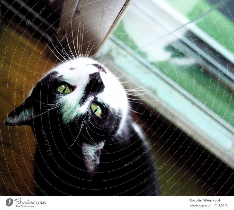 Katzenjammer revisited. Kunstrasen Dielenboden Parkett betteln Sehnsucht Haustier Oberlippenbart Schnurrbarthaare grün scheckig schwarz weiß Fell Wunsch