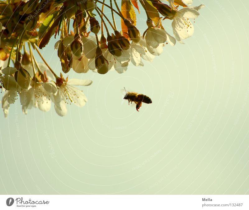 Summ, summ, summ ... Umwelt Natur Frühling Pflanze Blüte Kirschblüten Tier Nutztier Biene 1 Blühend fliegen natürlich fleißig nützlich Farbfoto Außenaufnahme